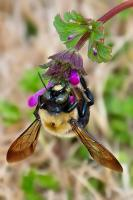 <h2></h2><p>Bumble Bee collecting pollen in the begining of Spring. </p>